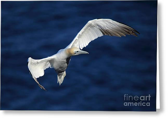 Northern Gannet In Flight Greeting Card