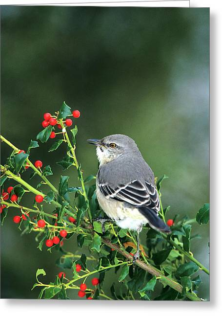 Northern Mockingbird (mimus Polyglottos Greeting Card