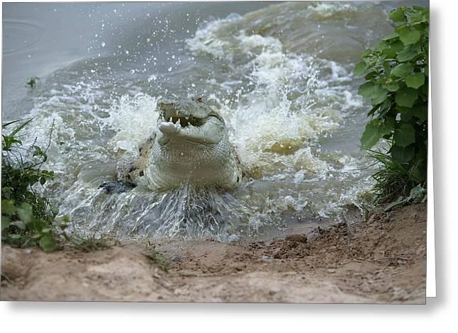 Orinoco Crocodile Protecting Nest Greeting Card by M. Watson