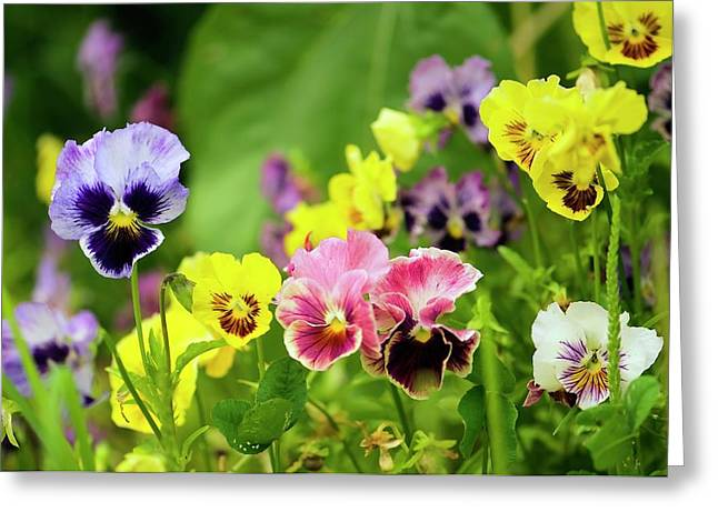 Pansy (viola X Wittrockiana) Greeting Card by Maria Mosolova/science Photo Library