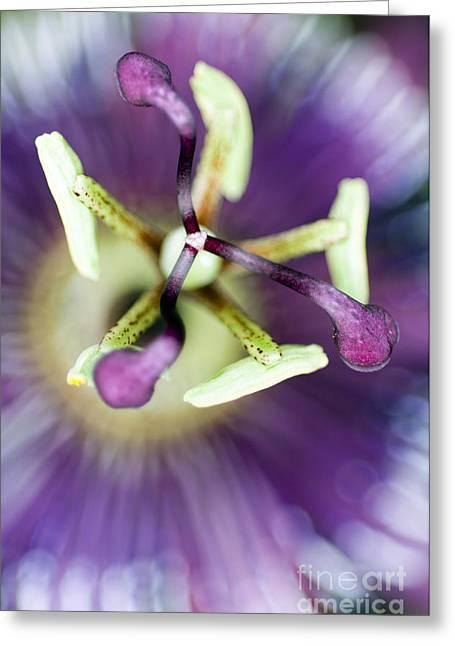 Passion Flower Passiflora Amethystina Greeting Card