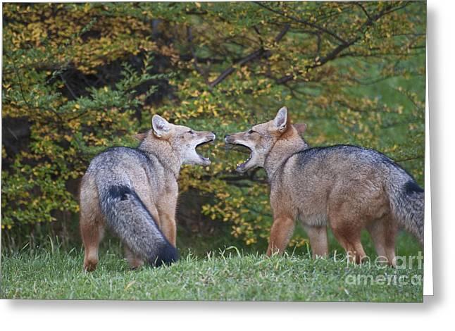 Patagonian Red Fox Greeting Card by John Shaw
