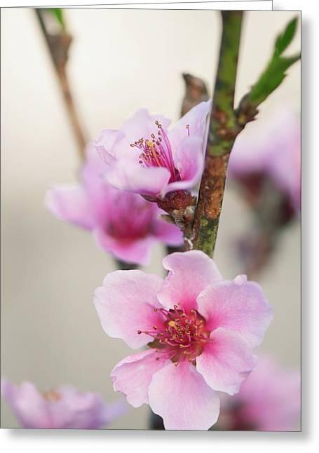 Peach (prunus Persica) Greeting Card by Maria Mosolova