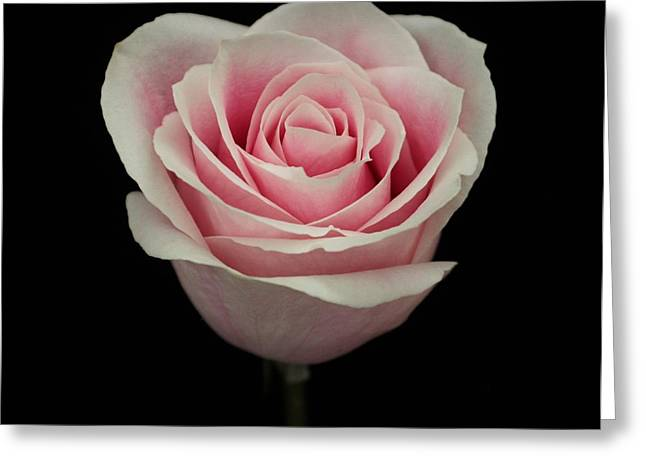 Pink Rose Greeting Card by Carol Welsh