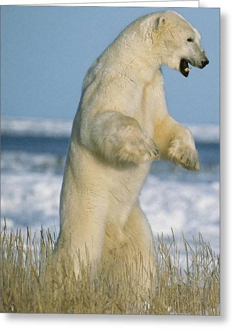 Polar Bear Greeting Card by M. Watson