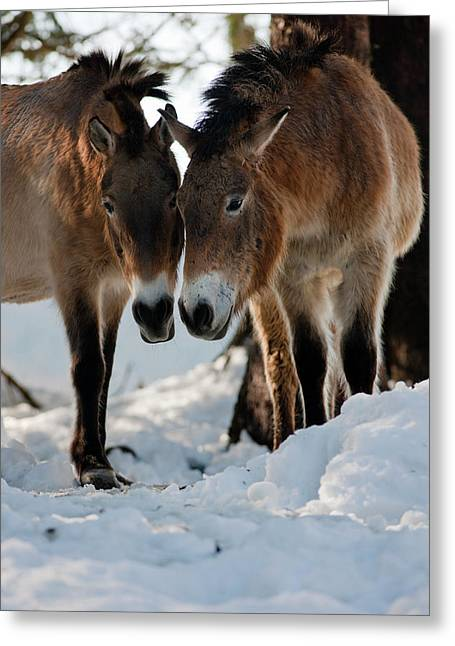 Przewalski's Horse Or Takhi (equus Greeting Card by Martin Zwick