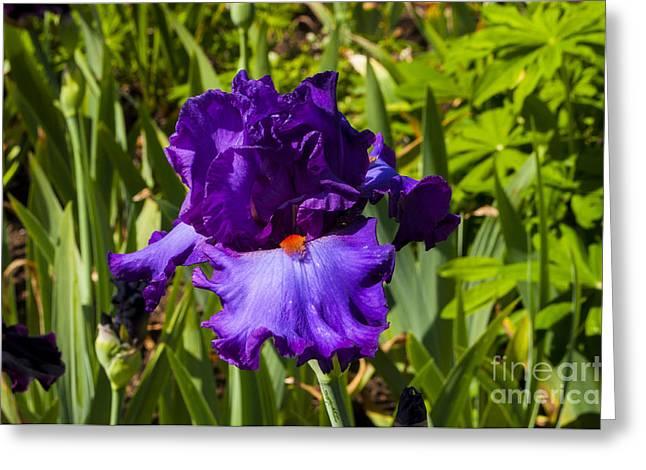 Purple Iris Greeting Card by Mandy Judson