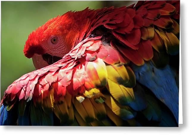 Red-and-green Macaw Ara Chloropterus Greeting Card
