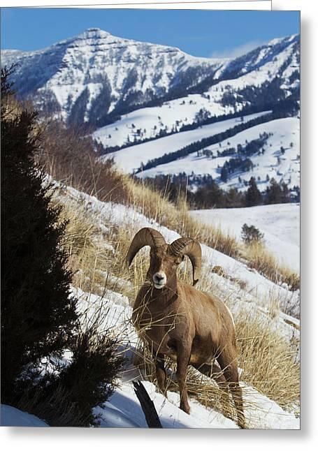Rocky Mountain Bighorn Sheep Ram Greeting Card by Ken Archer