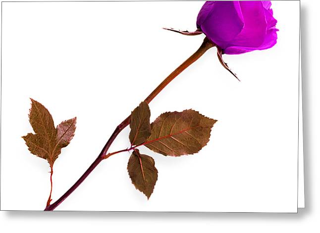Rose Collection Greeting Card by Marvin Blaine