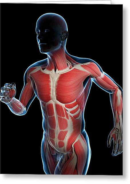 Runner Muscles Greeting Card by Sciepro/science Photo Library