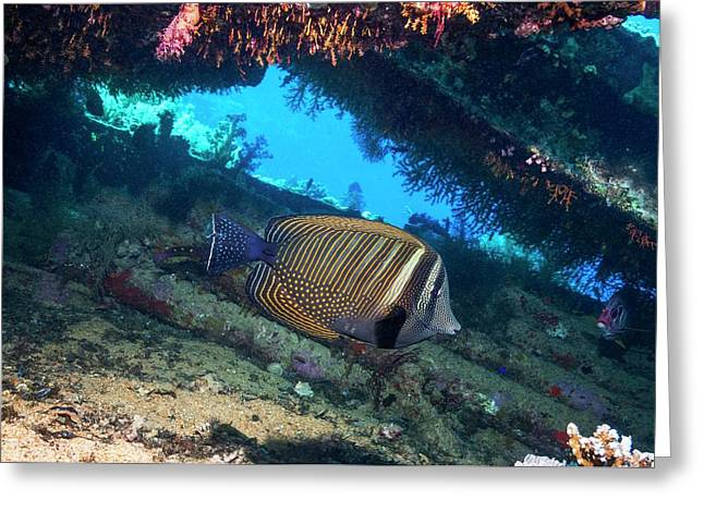Sailfin Tang Fish Greeting Card