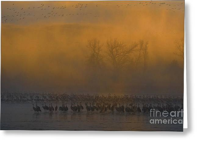 Sandhill Cranes Greeting Card by Mark Newman