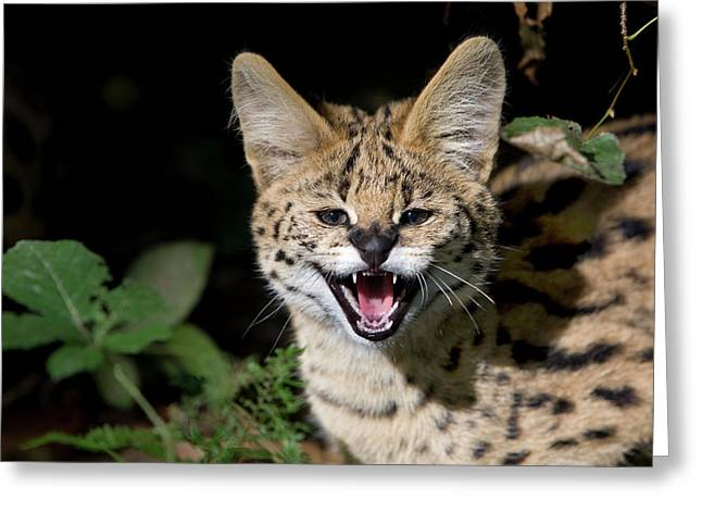 Serval Leptailurus Serval Greeting Card by Gerard Lacz