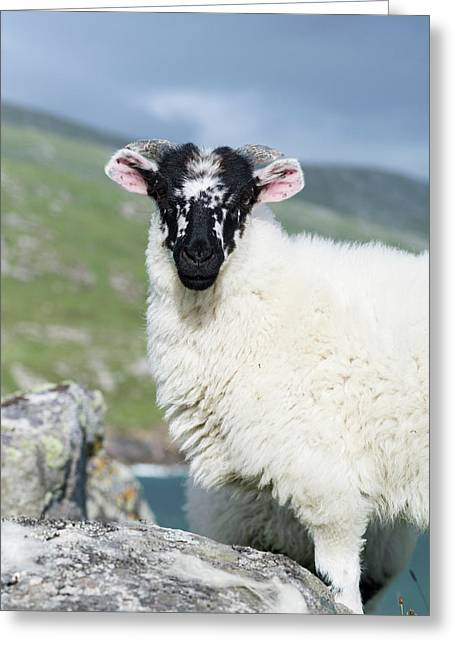Sheep (cheviot) On The Isle Of Harris Greeting Card