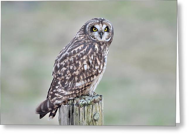 Short-eared Owl Greeting Card