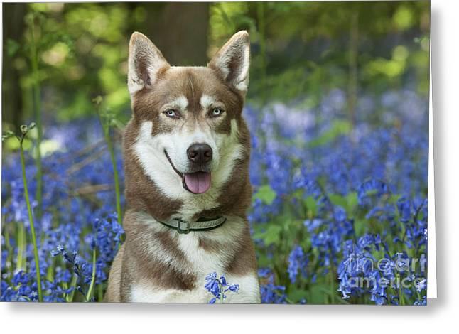 Siberian Husky In Bluebells Greeting Card by John Daniels
