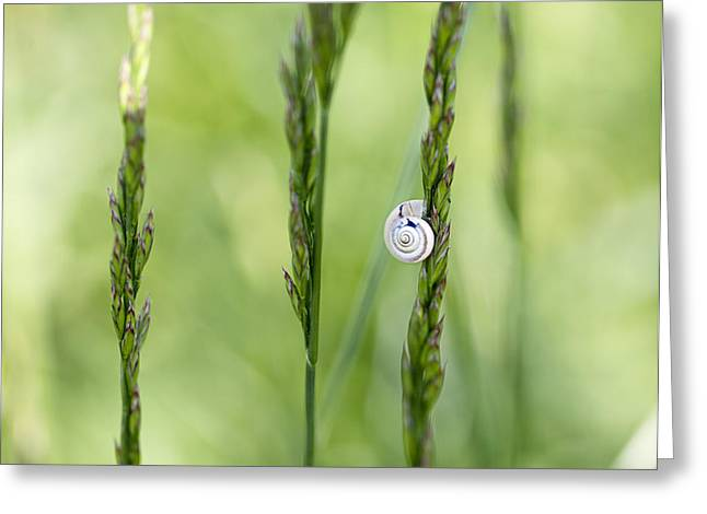 Snail On Grass Greeting Card by Nailia Schwarz