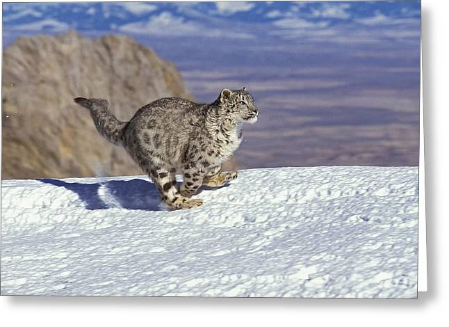 Snow Leopard Or Ounce Uncia Uncia Greeting Card