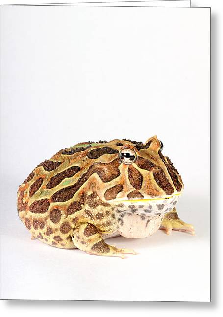 South American Horned Frog Greeting Card