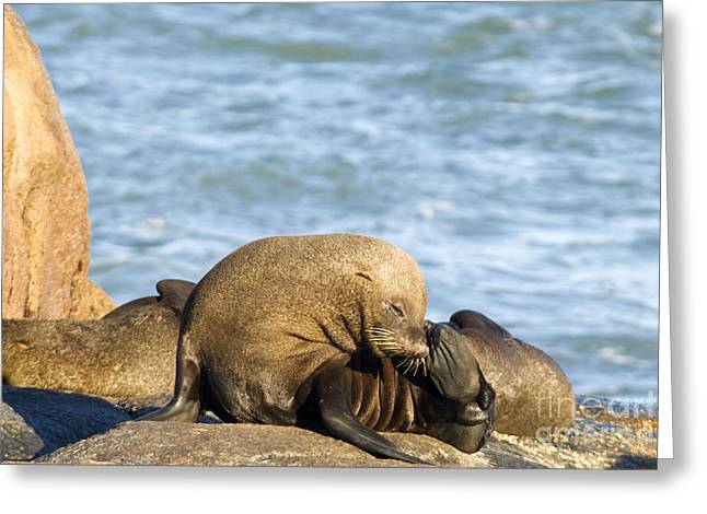 Southern Sea Lions Greeting Card
