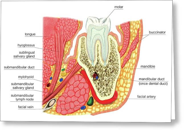 Structure Of A Molar Greeting Card by Asklepios Medical Atlas
