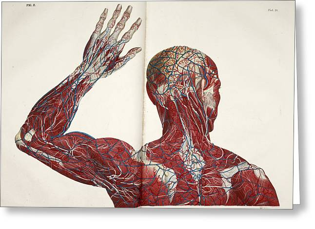 The Circulatory System Greeting Card by British Library