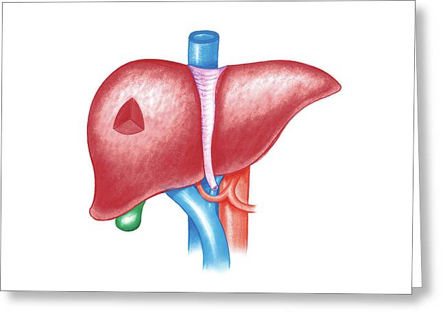 The Liver Greeting Card