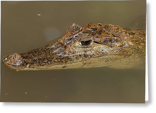 The Spectacled Caiman Is The Most Greeting Card