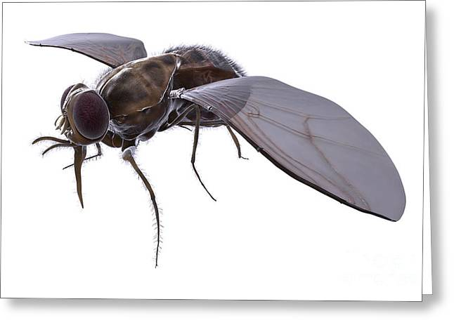 Tsetse Fly Greeting Card by Science Picture Co