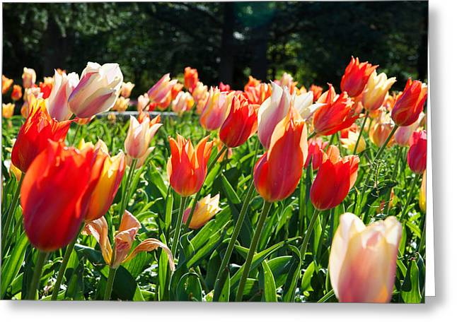 Tulips At Sherwood Gardens, Baltimore Greeting Card by Panoramic Images