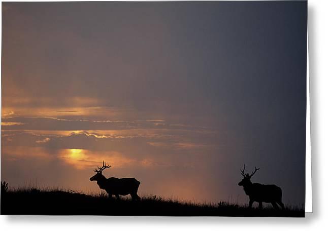 Usa, California, Sunset, Tule Elk Greeting Card