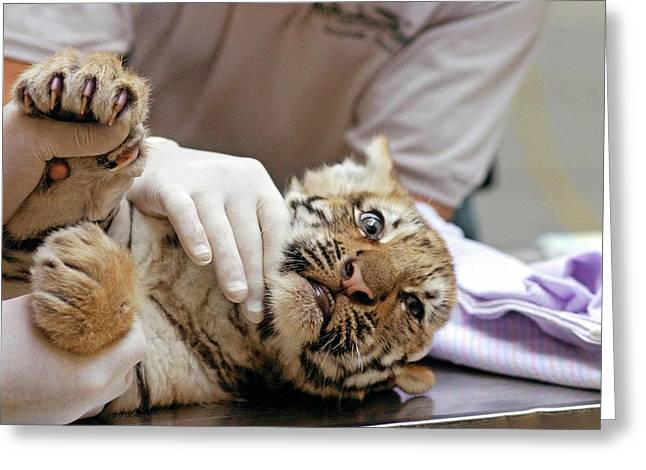 Vets Examining An Amur Tiger Cub Greeting Card by Jim West
