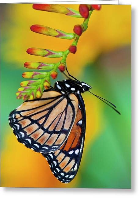 Viceroy Butterfly That Mimics Greeting Card