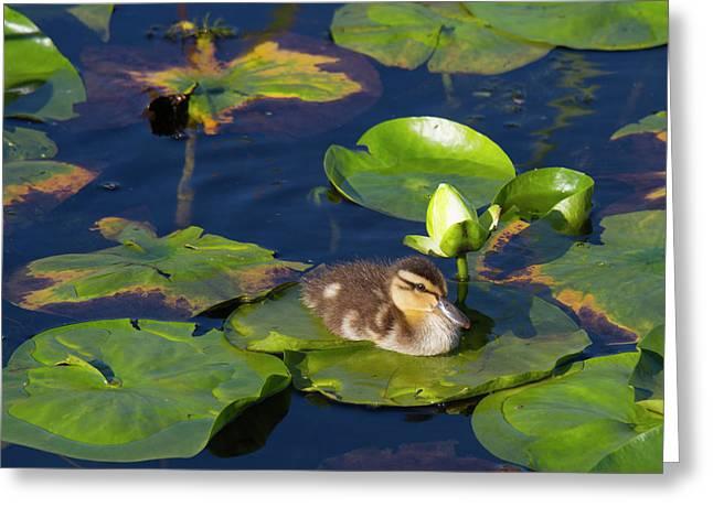Wa, Juanita Bay Wetland, Mallard Duck Greeting Card