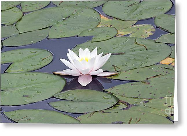 Water Lily In The Pond Greeting Card