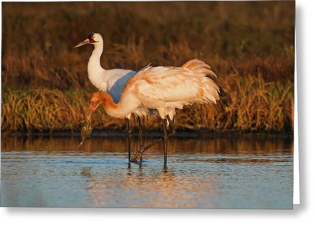 Whooping Crane (grus Americana Greeting Card
