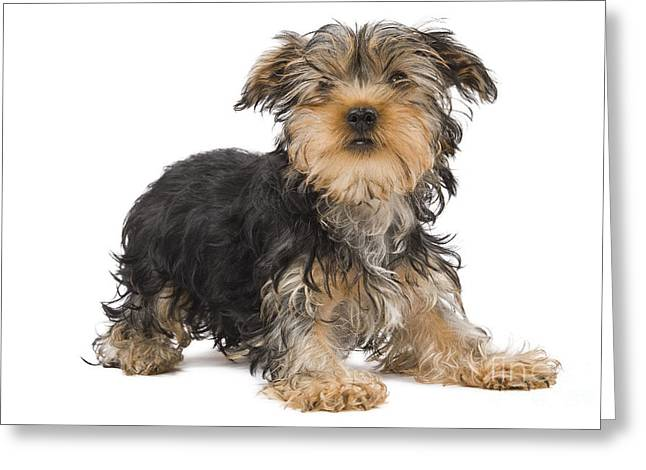Yorkshire Terrier Greeting Card by Jean-Michel Labat