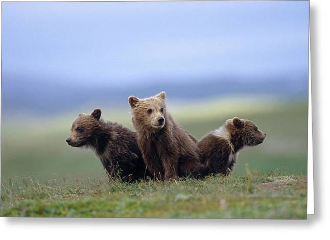 4 Young Brown Bear Cubs Huddled Greeting Card by Eberhard Brunner