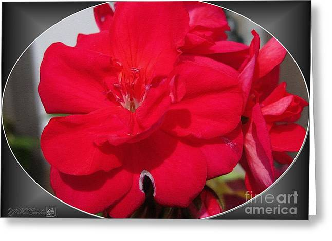 Zonal Geranium Named Candy Cherry Greeting Card by J McCombie
