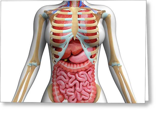 Human Digestive System Greeting Card