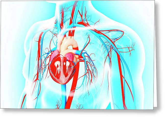 Male Cardiovascular System Greeting Card by Pixologicstudio/science Photo Library