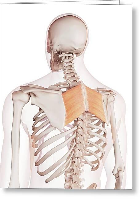 Human Back Muscles Greeting Card by Sebastian Kaulitzki/science Photo Library