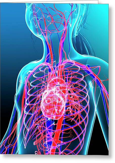 Human Cardiovascular System Greeting Card by Pixologicstudio/science Photo Library