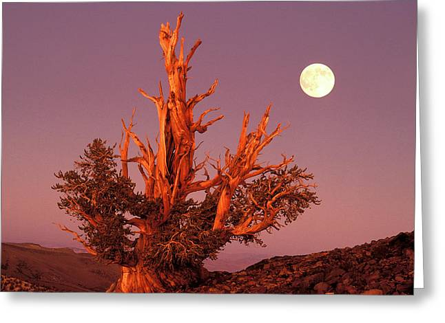 Usa, California, Inyo National Forest Greeting Card by Jaynes Gallery