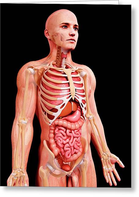 Male Anatomy Greeting Card by Pixologicstudio/science Photo Library