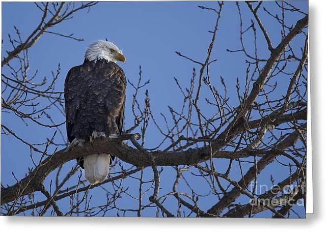Bald Eagle In Le Claire Iowa Greeting Card