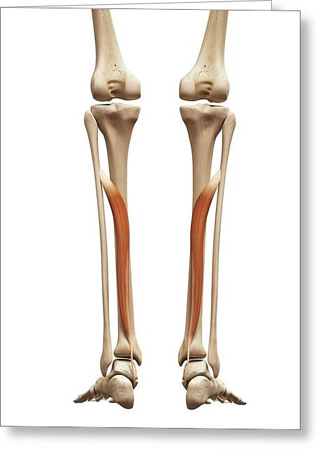 Leg Muscles Greeting Card by Sebastian Kaulitzki