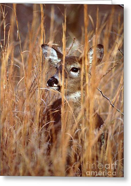 Greeting Card featuring the photograph White-tailed Deer by Jack R Brock