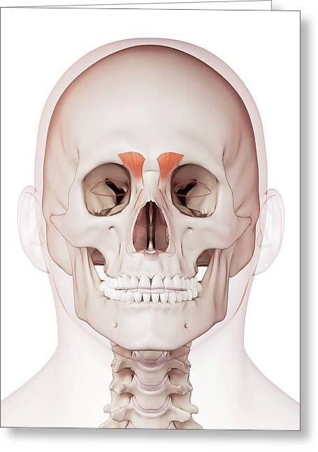 Human Facial Muscles Greeting Card by Sebastian Kaulitzki/science Photo Library